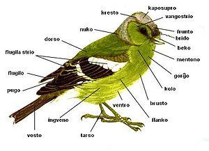 300px-Birdopartoj belulino