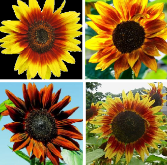 Helianthus-annuus.png