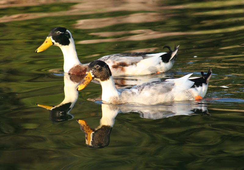 پرونده:Ducks 2.jpg