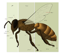 HoneyBeeAnatomy(persian).png