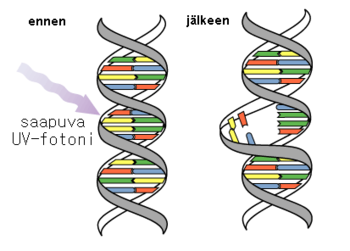 UV-DNA.PNG