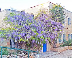 Wisteria in Jerusalem.jpg