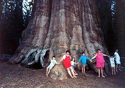 עץ סקוויה מהגדולים בעולם, בפארק לאומי סקוויה