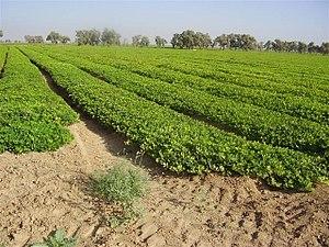 שדה אגוזי אדמה בנגב המערבי