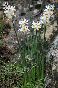Narcissus tazetta-flickr1.jpg