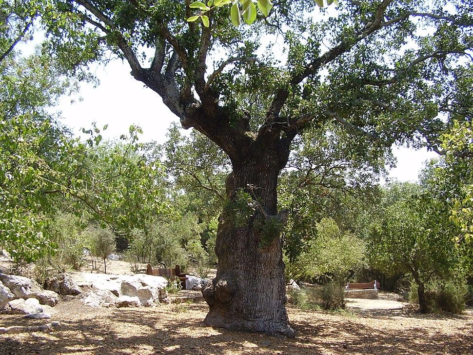 אלון התבור העתיק בקריית טבעון