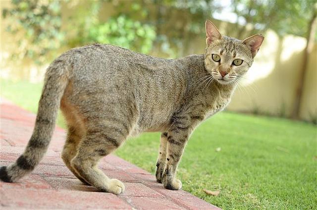 Kucing Arabian Mau