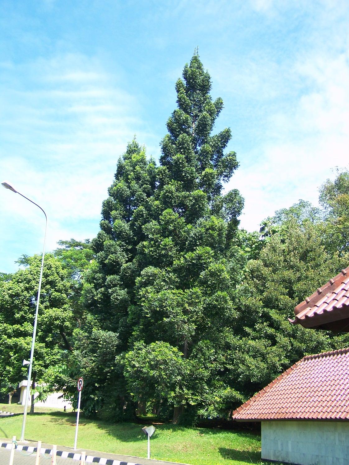 Kumpulan Sketsa Gambar Tumbuhan Araucaria