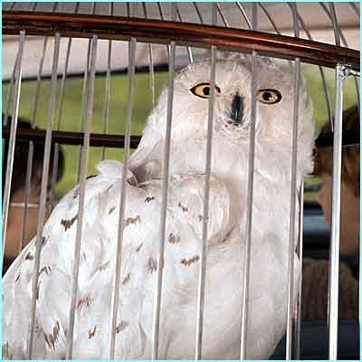 Hedwig Harry Potter Wikipedia Bahasa Indonesia Ensiklopedia Bebas
