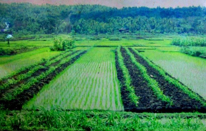 Sistem budi daya surjan - Wikipedia bahasa Indonesia