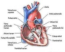 470 Gambar Jantung Hewan Mamalia Gratis