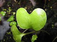 Kotiledon dari kecambah rapa (Brassica napus).