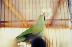 Burung Cica-daun Besar « RichMountain INDONESIA Blog