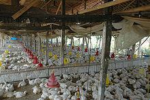 Ayam Broiler Dewasa Yang Berada Di Kandang