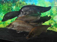 Kawanan ikan lopis