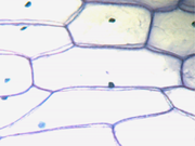 Sel selaput penyusun umbi bawang bombay (Allium cepa). Tampak dinding sel dan inti sel (berupa noktah di dalam setiap 'ruang'). Perbesaran 400 kali.