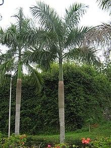 Kaling Arecaceae - Wiki...