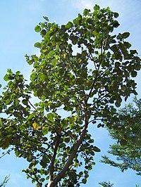 Jual Pohon Waru