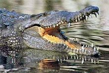 Nile-crocodile.jpg