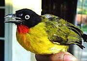 Cucak kuning, dari Kuningan, Jawa Barat