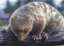 Common Spotted Cuscus.