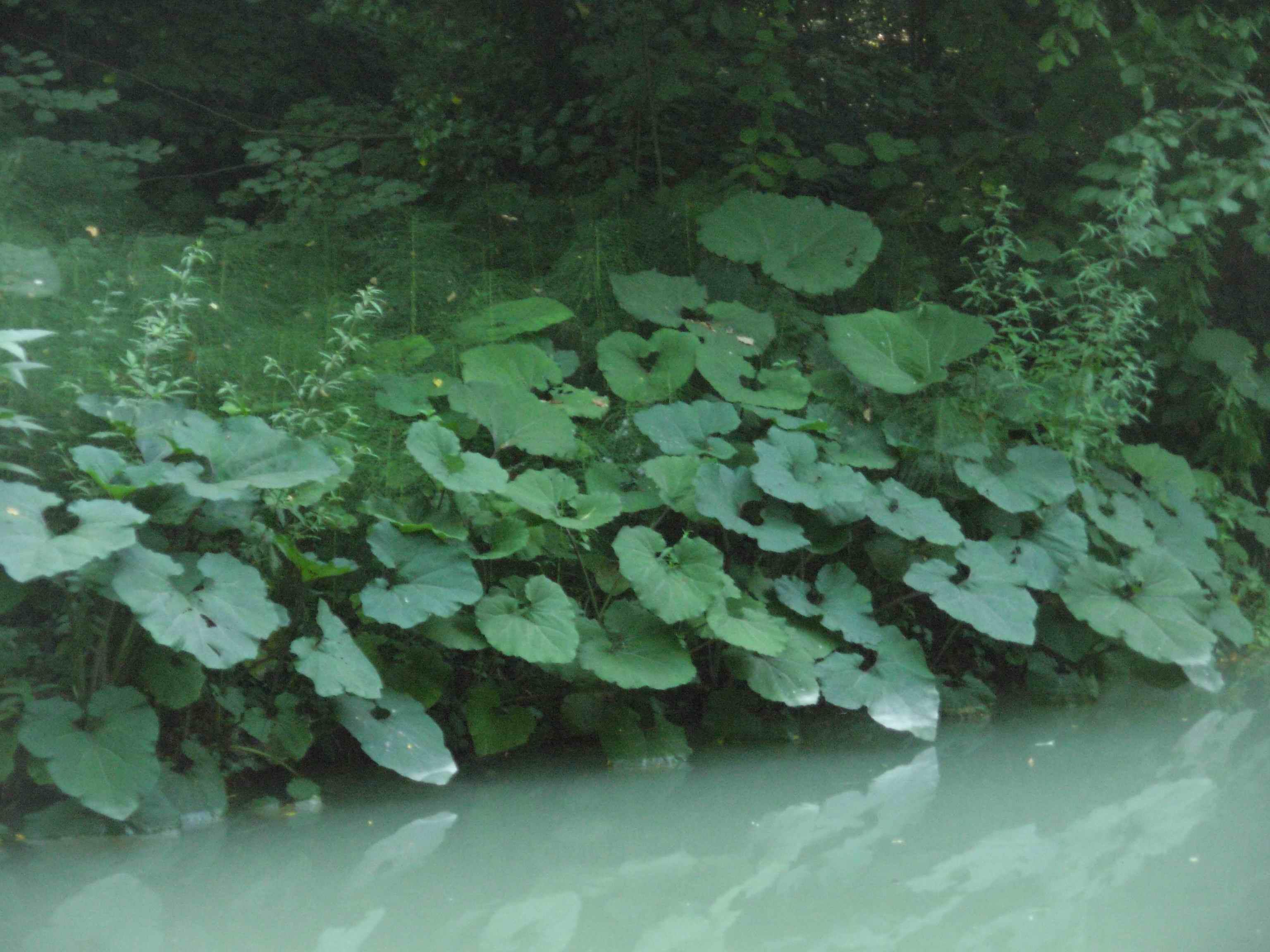 iniziamo da qui natura e piante farfaraccio