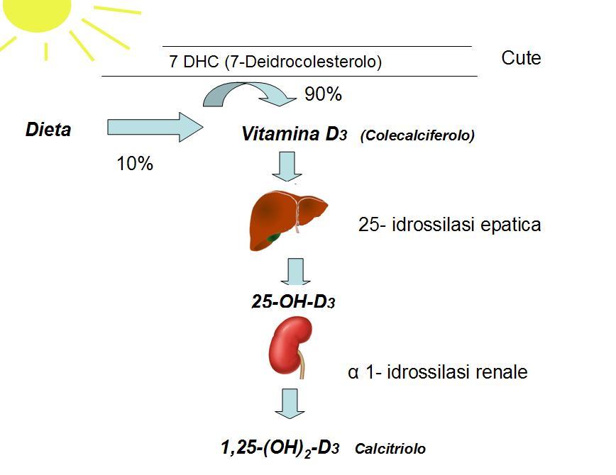 File:Vitaminad metabolismo.JPG - Wikipedia