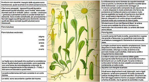 Descrizione delle parti della pianta