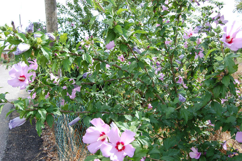 file hibiscus syriacus wikipedia