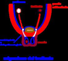 Fig.6. Discesa del testicolo nello scroto