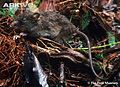 Camiguin-forest-mouse.jpg