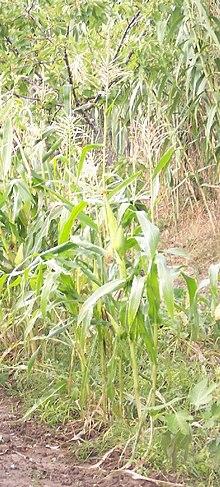 Una pianta di mais
