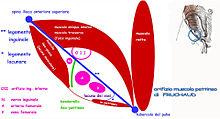 Rappresentazione schematica dell'area inguino-crurale