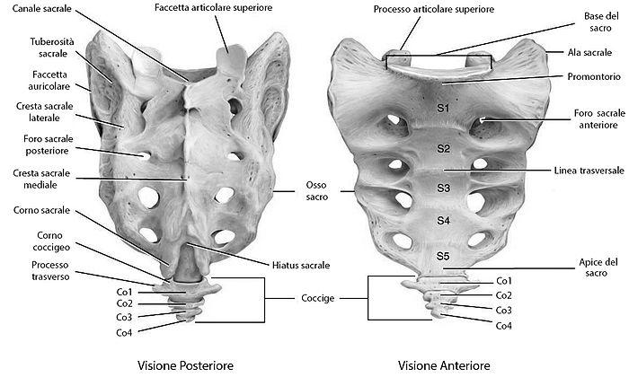 Osso, sacro, visione anteriore e posteriore
