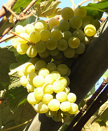 Uva wikipedia - Red globe uva da tavola ...