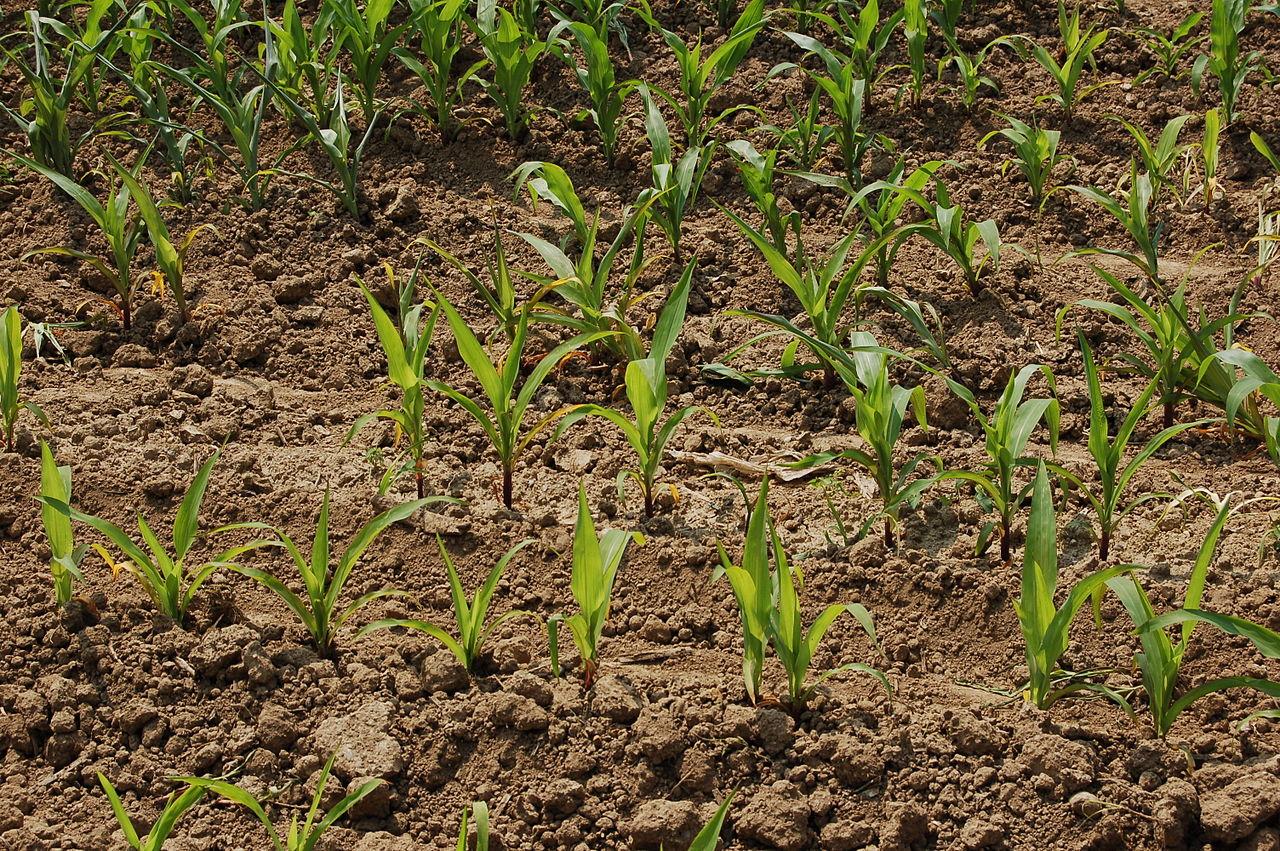 file piccole piante di mais jpg wikipedia