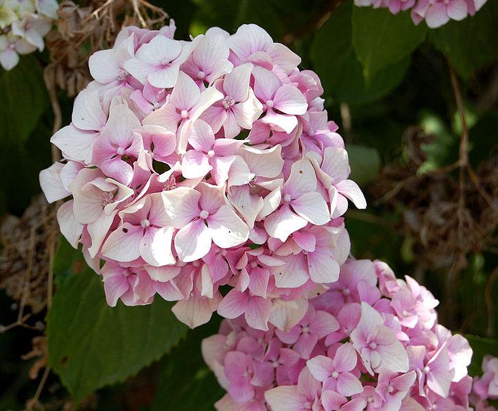 File fiori hydrangea wikipedia for Tipi di fiori