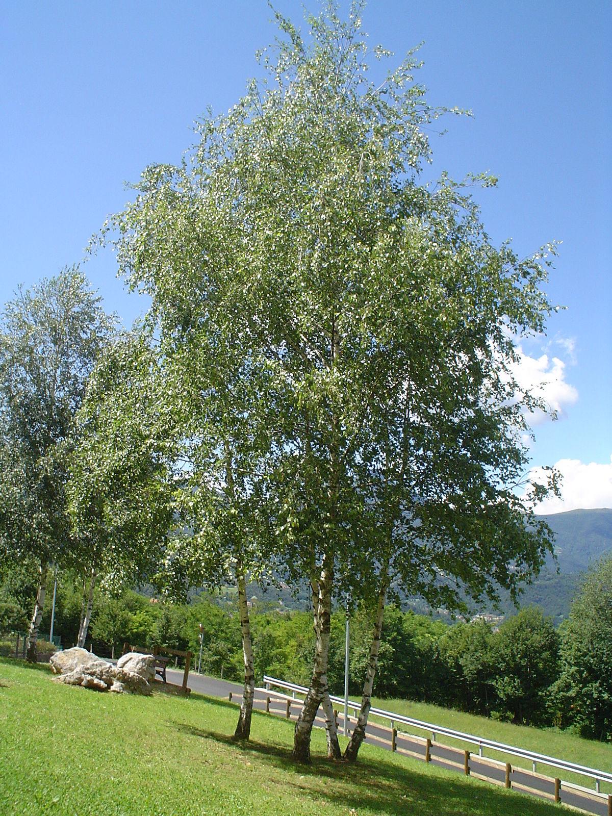 Immagini di alberi betulla