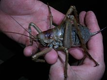 Little Barrier Island giant weta-little barrier 2011-2.jpg