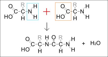 Legame peptidico - Wikiwand