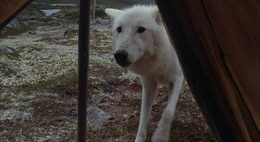 Never Cry Wolf film  Wikipedia