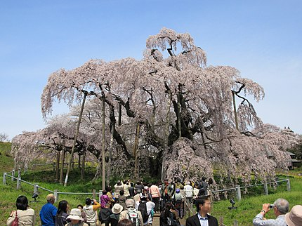 三春滝桜正面。