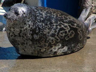 https://upload.wikimedia.org/wikipedia/ja/9/94/Ringed_Seal.jpg