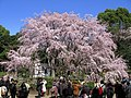 Bunkyo Rikugien Weeping Cherry Tree 1.JPG