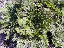 Selaginella tamariscina (Beauv.) Spring.JPG