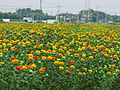Okegawa Safflower Field 1.JPG