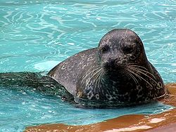 Harbor Seal Kushiro.jpg