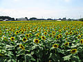 Tochigi Nogi Sunflower Field 1.JPG