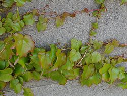 Boston Ivy Japanese Ivy 20080628.JPG