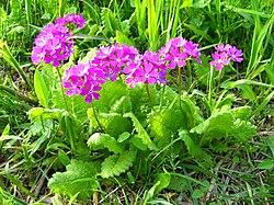 Saitama Tajimagahara Primula Sieboldii Primrose Habitat 2.jpg
